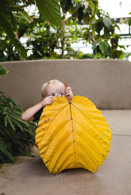 Young boy crouched down and hiding behind a large yellow leaf