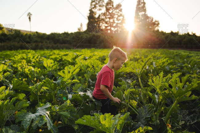 Young boy in a field of squash and zucchini plants