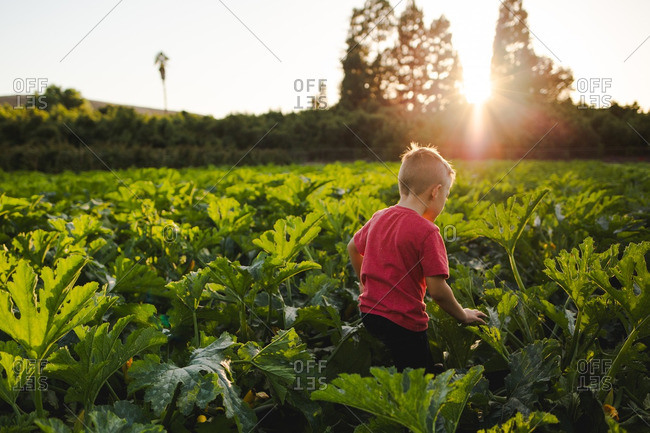Young boy walking through a field of squash and zucchini plants