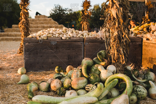 Pile of gourds in a variety of shapes and sizes by rustic crates filled with pumpkins