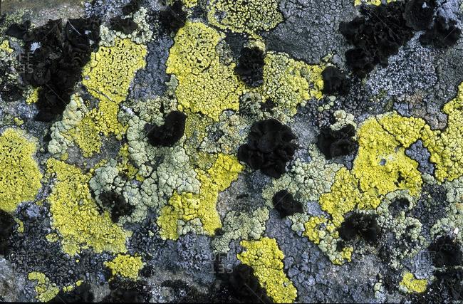 Lichen-encrusted rock, Victoria Island, Nunavut, Arctic Canada