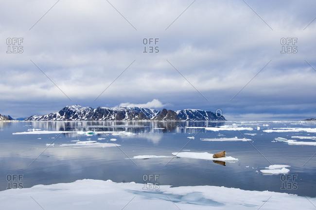Atlantic walrus(es) (Odobenus rosmarus rosmarus) loafing on the pack ice, Svalbard Archipelago, Arctic Norway