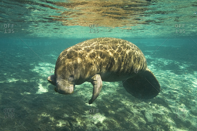 Florida manatee (Trichechus manatus latirostris) eating algae, Crystal River, west-central Florida, U.S.A.