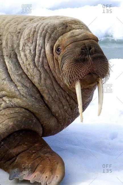 Adult bull Atlantic walrus (Odobenus rosmarus) loafing on pack ice, Svalbard Archipelago, Arctic Norway