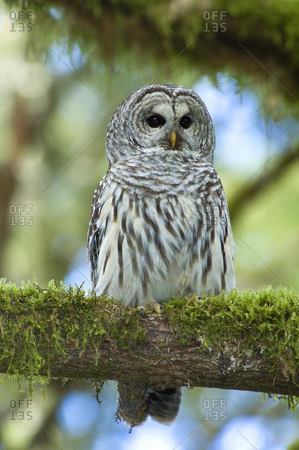 Adult male barred owl (Strix varia), temperate rain forests, Vancouver Island, coastal British Columbia, Canada