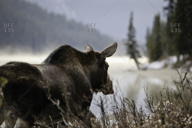 Adult Moose on an early misty morning,  Maligne Lake shoreline, Jasper National Park, Alberta, Canada.