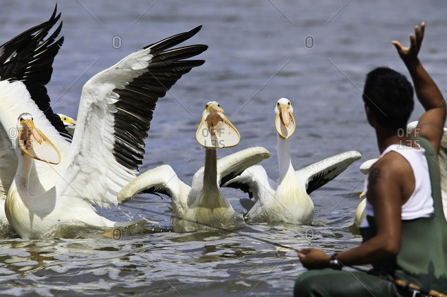 Fisherman throwing fish to American White Pelicans.  Red River, Lockport, Manitoba, Canada.
