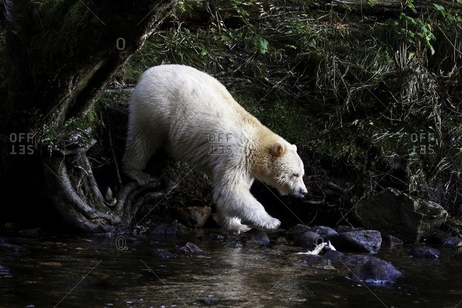 Kermode bear in the Great Bear Rainforest of British Columbia Canada