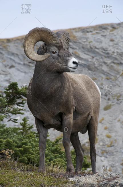 Bighorn Sheep Ram (Ovis canadensis) standing on alpine mountaintop. Jasper National Park, Alberta, Canada.