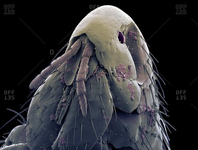 Cat flea head, SEM
