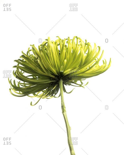 Chrysanthemum (Chrysanthemum 'Shamrock')