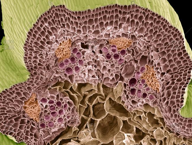 Nasturtium stem, SEM