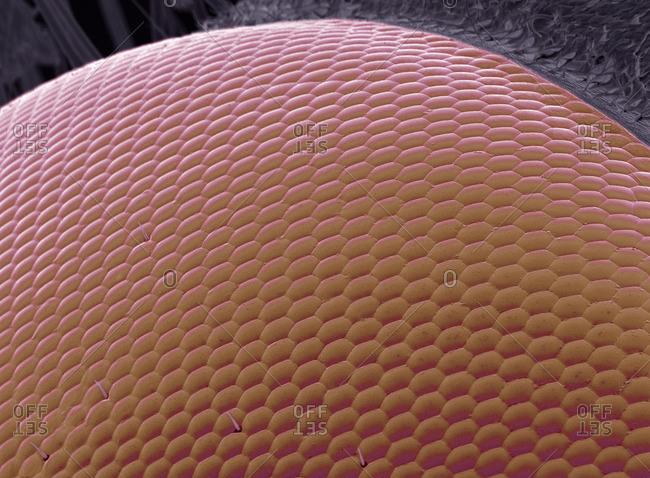 Wasp eye, SEM