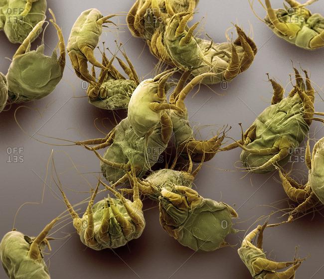Dust mites, SEM