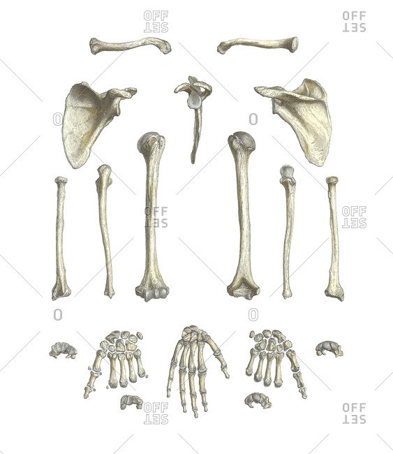 Arm bones,artwork