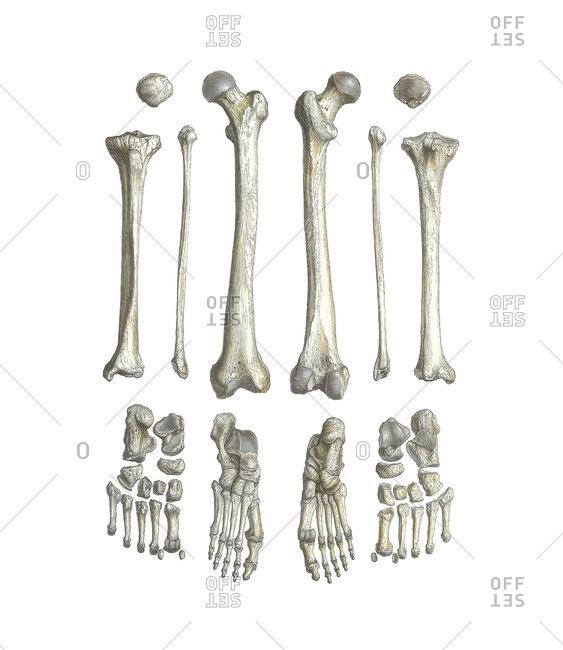 Leg bones, artwork