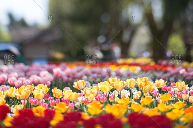 Tulip garden in bloom