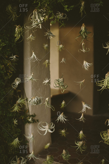 Close up of air plants strung up in entryway