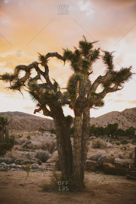 Joshua tree landscape at sunset