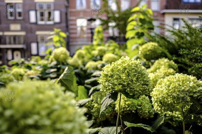 Green hydrangea bushes in yard