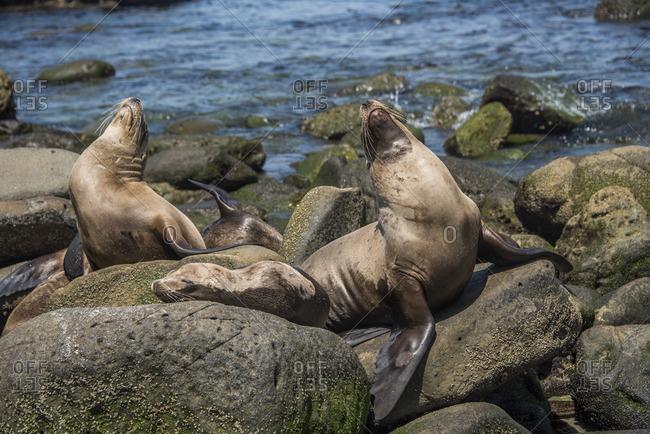 Sea lions together on rocks