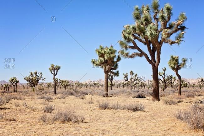 Joshua trees in rural setting