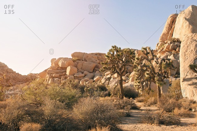 Joshua trees by stone formations