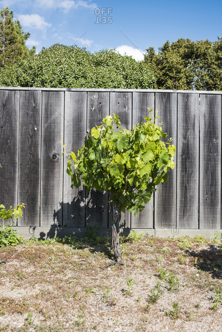 Single grapevine by a wooden fence