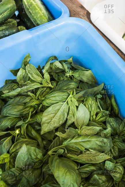 Freshly harvested basil leaves
