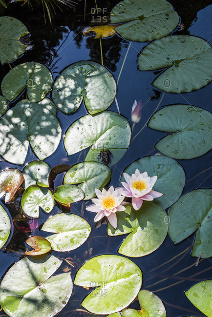 Pink water lilies on lily pads