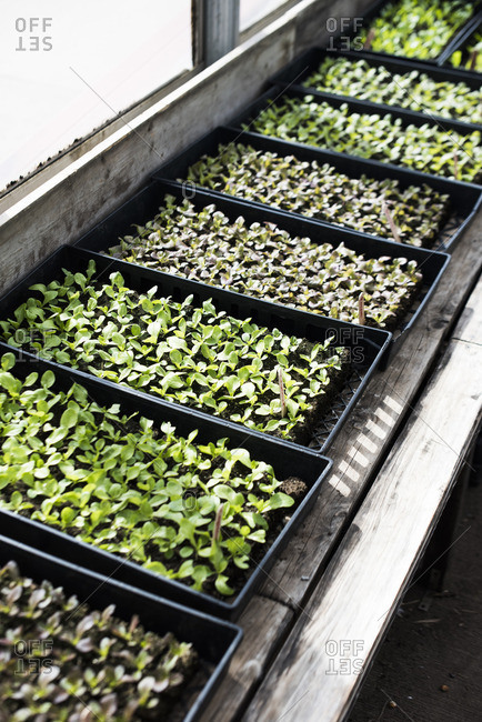 Variety of microgreens growing in containers