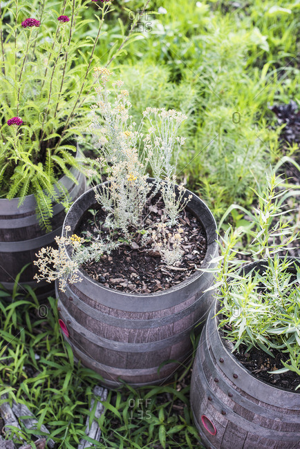 Plants growing in barrel pots