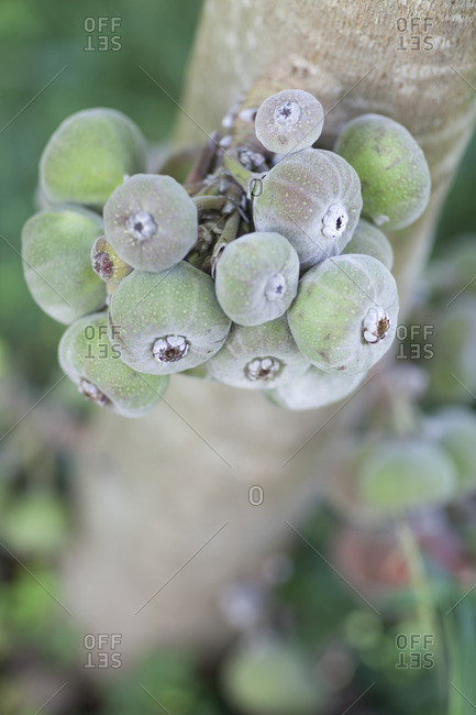 Close up of exotic fruits growing on a tree
