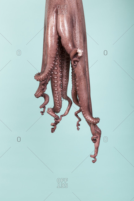 Studio shot of a raw octopus