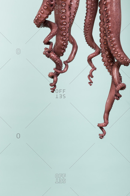 Studio shot of a hanging octopus