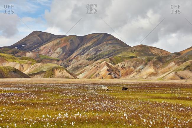 Sheep grazing in mountain field, Iceland