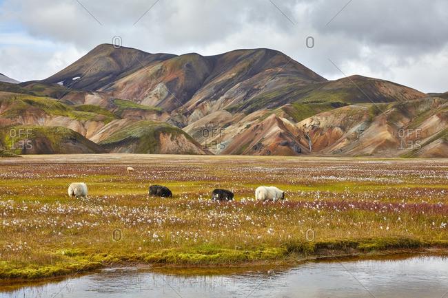 Sheep grazing in mountain prairie, Iceland
