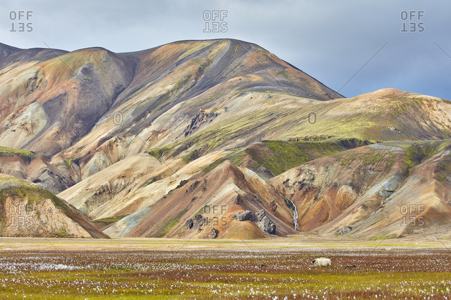 Sheep grazing in a mountain field, Iceland