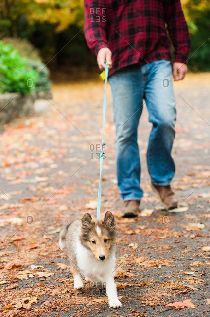 Sheltie puppy on a leash on a walk with man