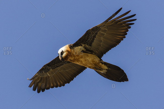 Hawk flying in blue sky