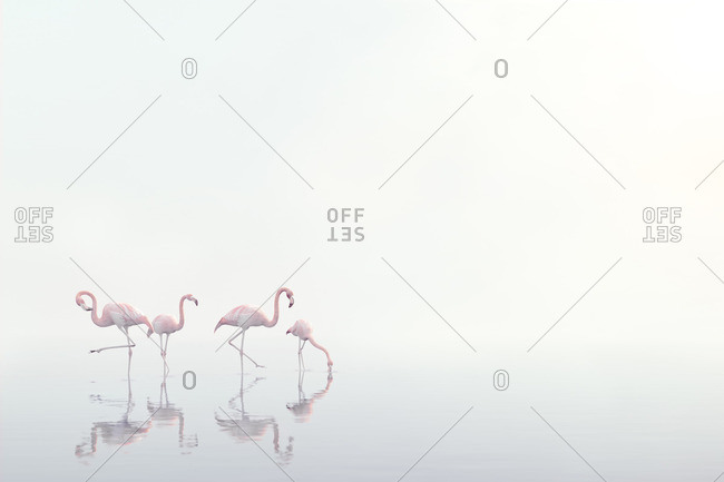 Flamingos wading in foggy water