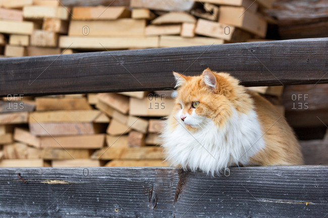 Cat in the woodshed, Sauris, Sauris, Friuli-Venezia Giulia, Carnia, Europe, Italy