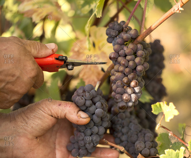 Farmer's hands cut a bunch of grapes during the harvest, Gorizia, Friuli-Venezia Giulia, Italy