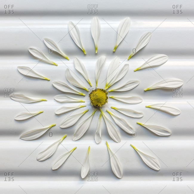 Deconstructed white daisy on a ridged surface