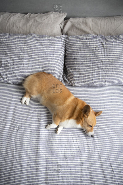 Corgi sleeping on a freshly made bed