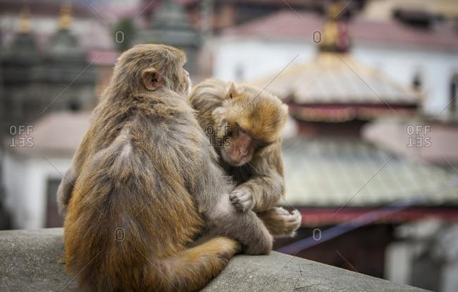 Monkeys grooming each other on a rooftop in Kathmandu
