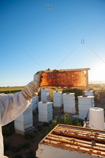 A bee keeper holding a honey comb up to the sunrise in Yerington, Nevada.