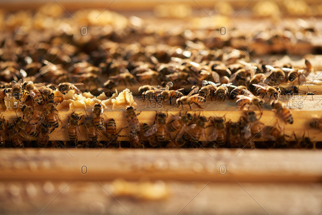 Honey bees on frames of an apiary in the morning sunrise of Yerington, Nevada