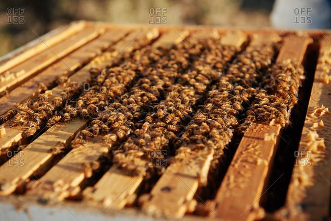 Honey bees on frames of an apiary in the morning sunrise of Yerington, Nevada