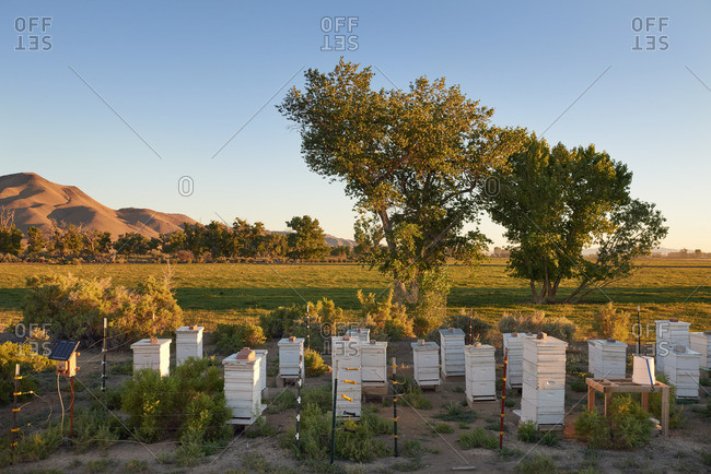 Apiary in the desert valley of Yerington, Nevada with many white boxes of bees and honeycombs inside.